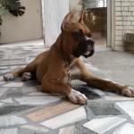 498514 Latir a toa não é comum. 150x150 Cães da raça boxer: fotos
