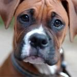498514 O boxer é um ótimo companheiro. 150x150 Cães da raça boxer: fotos