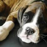 498514 O olhar dos filhotes é de deixar qualquer um apaixonado. 150x150 Cães da raça boxer: fotos