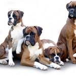 498514 Possuem estrutura muscular bem desenvolvida. 150x150 Cães da raça boxer: fotos