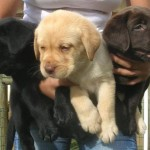 498741 É importante adquirir filhotes com boa procedência. 150x150 Fotos de cães da raça labrador