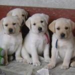 498741 É uma raça muito recomendada para crianças. 150x150 Fotos de cães da raça labrador
