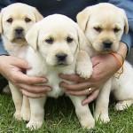 498741 As fêmeas geralmente menores. 150x150 Fotos de cães da raça labrador