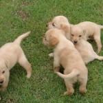 498741 De temperamento dócil o labrador se integra facilmente. 150x150 Fotos de cães da raça labrador