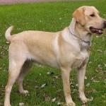 498741 Espaço de sobra é muito importante. 150x150 Fotos de cães da raça labrador