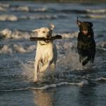 498741 O corpo do labrador foi projetado para a água. 150x150 Fotos de cães da raça labrador