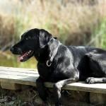 498741 O labrador é cheio de energia e muito alegre. 150x150 Fotos de cães da raça labrador