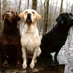 498741 O labrador adora água. 150x150 Fotos de cães da raça labrador