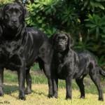 498741 Possui estrutura musculosa e é muito ágil. 150x150 Fotos de cães da raça labrador