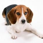 498782 Fotos de cães da raça beagle 15 150x150 Fotos de cães da raça Beagle