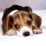 498782 Fotos de cães da raça beagle 150x150 Fotos de cães da raça Beagle