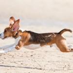 498782 Fotos de cães da raça beagle 19 150x150 Fotos de cães da raça Beagle