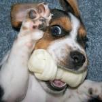 498782 Fotos de cães da raça beagle 22 150x150 Fotos de cães da raça Beagle