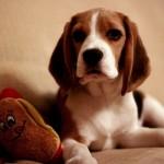 498782 Fotos de cães da raça beagle 23 150x150 Fotos de cães da raça Beagle