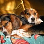 498782 Fotos de cães da raça beagle 26 150x150 Fotos de cães da raça Beagle
