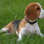 498782 Fotos de cães da raça beagle 3 150x150 Fotos de cães da raça Beagle