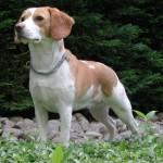 498782 Fotos de cães da raça beagle 7 150x150 Fotos de cães da raça Beagle
