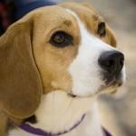 498782 Fotos de cães da raça beagle 8 150x150 Fotos de cães da raça Beagle