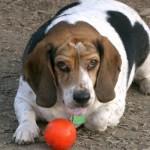 498782 Fotos de cães da raça beagle 9 150x150 Fotos de cães da raça Beagle
