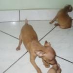 498889 fotos de caes da raca pinscher 12 150x150 Fotos de cães da raça Pinscher