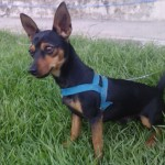 498889 fotos de caes da raca pinscher 15 150x150 Fotos de cães da raça Pinscher