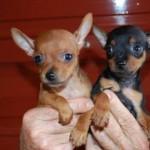 498889 fotos de caes da raca pinscher 16 150x150 Fotos de cães da raça Pinscher