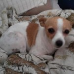 498889 fotos de caes da raca pinscher 17 150x150 Fotos de cães da raça Pinscher