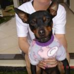 498889 fotos de caes da raca pinscher 2 150x150 Fotos de cães da raça Pinscher