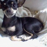 498889 fotos de caes da raca pinscher 23 150x150 Fotos de cães da raça Pinscher