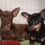 498889 fotos de caes da raca pinscher 24 150x150 Fotos de cães da raça Pinscher