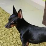498889 fotos de caes da raca pinscher 28 150x150 Fotos de cães da raça Pinscher