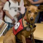 498889 fotos de caes da raca pinscher 4 150x150 Fotos de cães da raça Pinscher