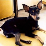 498889 fotos de caes da raca pinscher 6 150x150 Fotos de cães da raça Pinscher