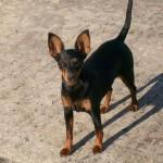 498889 fotos de caes da raca pinscher 7 150x150 Fotos de cães da raça Pinscher