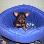 498889 fotos de caes da raca pinscher 9 150x150 Fotos de cães da raça Pinscher