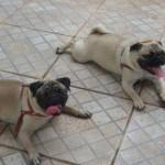 498962 fotos de caes da raca pug 12 150x150 Fotos de cães da raça Pug