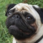 498962 fotos de caes da raca pug 15 150x150 Fotos de cães da raça Pug