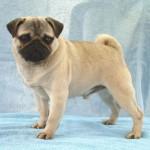 498962 fotos de caes da raca pug 8 150x150 Fotos de cães da raça Pug