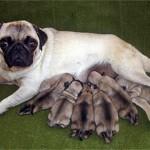 498962 fotos de caes da raca pug 9 150x150 Fotos de cães da raça Pug