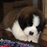 499608 fotos de caes da raça sao bernardo 10 150x150 Fotos de cães da raça São Bernardo
