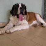 499608 fotos de caes da raça sao bernardo 12 150x150 Fotos de cães da raça São Bernardo
