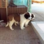 499608 fotos de caes da raça sao bernardo 18 150x150 Fotos de cães da raça São Bernardo