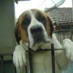 499608 fotos de caes da raça sao bernardo 19 150x150 Fotos de cães da raça São Bernardo