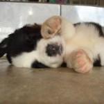 499608 fotos de caes da raça sao bernardo 21 150x150 Fotos de cães da raça São Bernardo