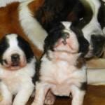 499608 fotos de caes da raça sao bernardo 23 150x150 Fotos de cães da raça São Bernardo