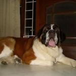 499608 fotos de caes da raça sao bernardo 29 150x150 Fotos de cães da raça São Bernardo