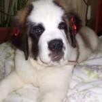 499608 fotos de caes da raça sao bernardo 30 150x150 Fotos de cães da raça São Bernardo