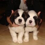 499608 fotos de caes da raça sao bernardo 33 150x150 Fotos de cães da raça São Bernardo