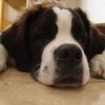 499608 fotos de caes da raça sao bernardo 34 150x150 Fotos de cães da raça São Bernardo