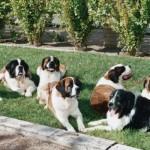 499608 fotos de caes da raça sao bernardo 6 150x150 Fotos de cães da raça São Bernardo